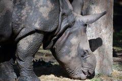 Ο ινδικός ρινόκερος Στοκ Φωτογραφίες