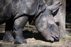 Ο ινδικός ρινόκερος Στοκ εικόνα με δικαίωμα ελεύθερης χρήσης