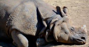Ο ινδικός ρινόκερος Στοκ Εικόνες