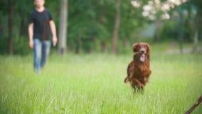 Ο ιρλανδικός ρυθμιστής σκυλιών που τρέχει στο πάρκο και που παίζει με τον ιδιοκτήτη του - άτομο - ρίχνει το ξύλινο ραβδί, σε αργή απόθεμα βίντεο