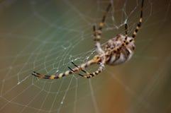 Ο ιστός αράχνης και η αράχνη πίσω Στοκ Εικόνα