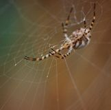 Ο ιστός αράχνης με argiope η αράχνη Στοκ Εικόνα