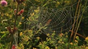 Ο ιστός αράχνης που καλύπτεται με τις πτώσεις της δροσιάς πρωινού τρέμει με έναν ασθενή άνεμο απόθεμα βίντεο