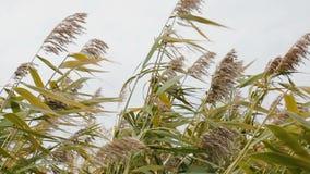 Ο ισχυρός άνεμος στους καλάμους, κλείνει επάνω την κίνηση αερακιού panimula λουλουδιών καλάμων ` s απόθεμα βίντεο