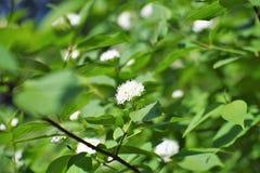 Ο ιώδης Μπους και τα λουλούδια του, λευκοί στοκ φωτογραφίες με δικαίωμα ελεύθερης χρήσης