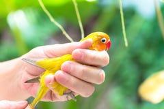 Ο ιδιοκτήτης ελέγχει το λίγο χαριτωμένο και νέο lovebird του Στοκ Εικόνες