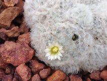 Ο κάκτος έχει ένα λουλούδι Στοκ εικόνα με δικαίωμα ελεύθερης χρήσης