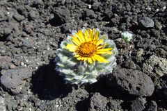 Ο κάκτος με το λουλούδι αυξάνεται στις πέτρες Στοκ εικόνα με δικαίωμα ελεύθερης χρήσης