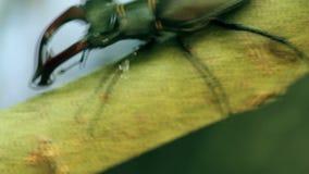 Ο κάνθαρος αρσενικών ελαφιών Cervus Lucanus απόθεμα βίντεο