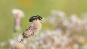 Ο κάνθαρος αυξήθηκε Chafer ή πράσινο ροδαλό Chafer το /Cetonia aurata/είναι σε ένα εξασθενισμένο σερνμένος λουλούδι κάρδων απόθεμα βίντεο