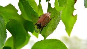 Ο κάνθαρος μηλολόνθεων τρώει τα φύλλα απόθεμα βίντεο