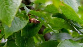 Ο κάνθαρος μηλολόνθεων τρώει τα φύλλα φιλμ μικρού μήκους