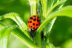 Ο κάνθαρος ladybug τρώει aphids Στοκ Φωτογραφίες