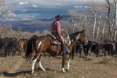 Ο κάουμποϋ στο Drive βοοειδών συλλέγει τις διαγώνιες αγελάδες του Angus/Hereford και calv Στοκ εικόνες με δικαίωμα ελεύθερης χρήσης