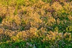 Ο κάρδος ανθίζει το άνθος που ρίχνει τους σπόρους του στο λιβάδι, που φωτίζεται με να εξισώσει τον ήλιο Στοκ Εικόνες