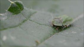 Ο κάρδος το rubiginosa Cassida κανθάρων εκθέτοντας το κεφάλι φιλμ μικρού μήκους
