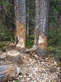 Ο κάστορας μασά το ξύλο Στοκ Φωτογραφία