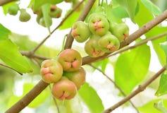 ο κήπος μήλων αυξήθηκε δέντρο Στοκ Εικόνα