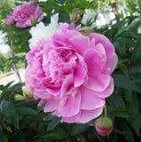 ο κήπος ρόδινος αυξήθηκε Στοκ εικόνες με δικαίωμα ελεύθερης χρήσης