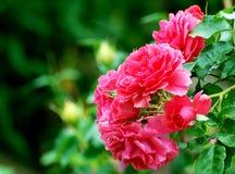 ο κήπος ρόδινος αυξήθηκε στοκ εικόνα με δικαίωμα ελεύθερης χρήσης