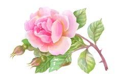 Ο κήπος Watercolor αυξήθηκε απομονωμένος στο άσπρο υπόβαθρο ελεύθερη απεικόνιση δικαιώματος