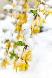 Ο κίτρινος ανθίζοντας κλάδος Forsythia είναι κάτω από το χιόνι Στοκ Εικόνες