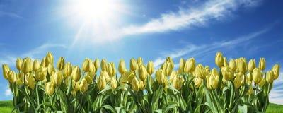 ο κίτρινος διαστημικός χαιρετισμός υποβάθρου ουρανού τουλιπών textspace μπορεί λουλούδια να αναπηδήσει ευτυχή ανατολικό Στοκ Εικόνες