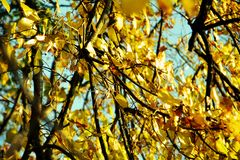 Ο κίτρινος κλάδος δέντρων φθινοπώρου, φύλλα, θόλωσε το φυσικό υπόβαθρο φθινοπώρου οικολογίας στοκ εικόνες με δικαίωμα ελεύθερης χρήσης