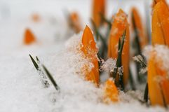 Ο κίτρινος κρόκος κρόκων προκύπτει από το χιόνι την άνοιξη στοκ εικόνα