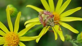 Ο κίτρινος κόκκινος κάνθαρος κάθεται στα κίτρινα λουλούδια στον άγριο τομέα απόθεμα βίντεο