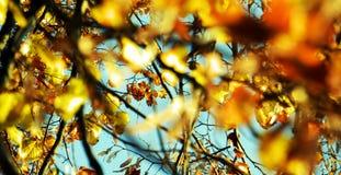 Ο κίτρινος πορτοκαλής κλάδος δέντρων φθινοπώρου, φύλλα, θόλωσε το φυσικό υπόβαθρο φθινοπώρου οικολογίας στοκ φωτογραφία με δικαίωμα ελεύθερης χρήσης