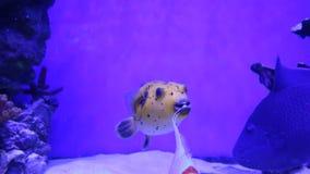 Ο κίτρινος χρυσός καπνιστής meleagris Arothron φτερνίστηκε ψάρια φιλμ μικρού μήκους