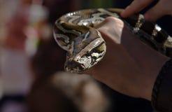 ο καθένας ΙΙ python Στοκ Εικόνες