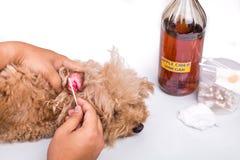 Ο καθαρισμός προσώπων το αυτί του σκυλιού με το ξίδι μηλίτη μήλων Στοκ Εικόνες