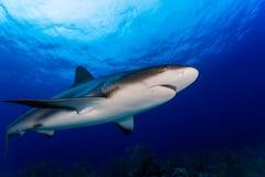 Ο καραϊβικός καρχαρίας σκοπέλων αντιμετωπίζει κοντά Στοκ Εικόνα