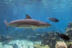 ο καρχαρίας κολυμπά Στοκ Εικόνα