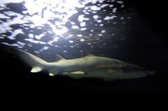 Ο καρχαρίας τιγρών κολυμπά στον ωκεανό Στοκ φωτογραφία με δικαίωμα ελεύθερης χρήσης