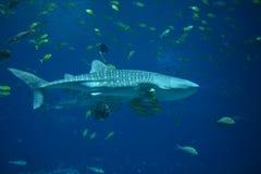 Ο καρχαρίας φαλαινών Στοκ Φωτογραφίες