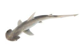 Ο καρχαρίας bonnethead ή shovelhead, tiburo Sphyrna, η τοπ άποψη. Είναι στοκ φωτογραφία