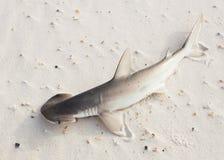 Ο καρχαρίας bonnethead ή shovelhead, tiburo Sphyrna, που βρίσκεται στοκ εικόνα με δικαίωμα ελεύθερης χρήσης