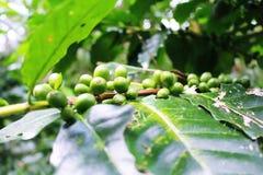 ο καφές που έρχεται αφήνει έξω το μίσχο σπόρων φυτών Στοκ Εικόνα