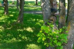 Ο καφετής γούνινος σκίουρος τρώει και φαίνεται προσεκτικός κατ' ευθείαν στοκ εικόνα