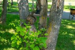 Ο καφετής γούνινος σκίουρος τρώει και φαίνεται προσεκτικός κατ' ευθείαν στοκ φωτογραφία