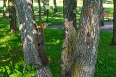 Ο καφετής γούνινος σκίουρος τρώει και φαίνεται προσεκτικός κατ' ευθείαν στοκ φωτογραφία με δικαίωμα ελεύθερης χρήσης