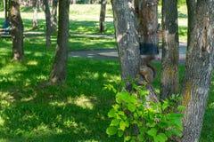 Ο καφετής γούνινος σκίουρος τρώει και φαίνεται προσεκτικός κατ' ευθείαν στοκ φωτογραφίες