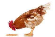 Ο καφετής κόκκορας τρώει το σιτάρι δημητριακών στο άσπρο υπόβαθρο, απομονωμένο αντικείμενο, ζωντανό κοτόπουλο, ένα ζώο αγροκτημάτ στοκ φωτογραφίες