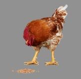 Ο καφετής κόκκορας τρώει το σπόρο σίτου, γκρίζο υπόβαθρο, ζωντανό κοτόπουλο, ένα ζώο αγροκτημάτων κινηματογραφήσεων σε πρώτο πλάν στοκ εικόνες