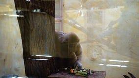 Ο καφετής πίθηκος τρώει στο ζωολογικό κήπο απόθεμα βίντεο
