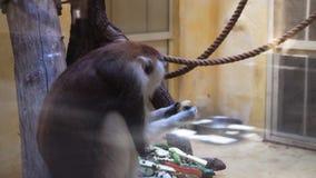 Ο καφετής πίθηκος τρώει στο ζωολογικό κήπο φιλμ μικρού μήκους