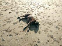 Ο καφετής ύπνος σκυλιών χαλαρώνει στην αμμώδη παραλία στην ανατολή λυκόφατος Στοκ Εικόνες